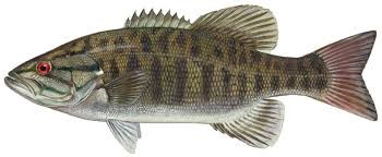 Smallmouth Fish for Bass Fishing for Beginners